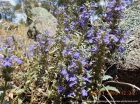 An unusual variant of Austral Bugle (Ajuga australis), flowering on the rocky slopes.