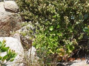 Austral Stork's-bill (P. australe) and Common Correa (C. reflexa) proliferate among the rocks.