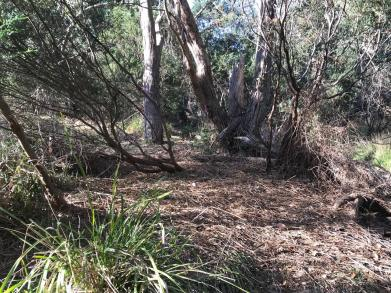 In some sections, after further blackberry cane collapsing works, the trail meanders through some previous infestations