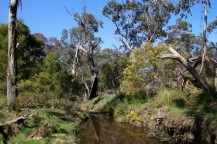 The ultimate goal is to restore the riparian zone as it was before the blackberry and holly took hold, this section being a good example