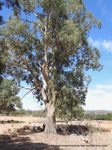 Magnificent river red gum on the outwash slope below the ranges.