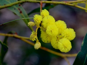 20200722_pho_Hughes Creek Hill 64 Lightwood Wattle Flower