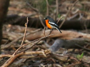 20200722_pho_Hughes Creek Hill 65 Flame Robin