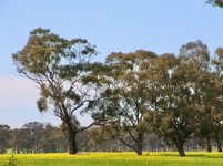 Canola fields splash the landscape with bright yellow when in flower