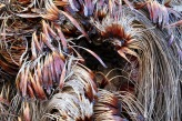 Grass trees are vulnerable to Cinnamon Fungus