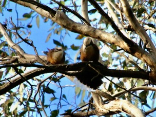 Grey-crowned Babbler and fledgling