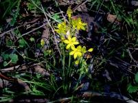 Bulbine Lily