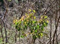 Eucalypt sapling (likely Red Stringybark)