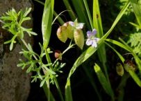 Rattlesnake Grass with Variable Crane's-bill