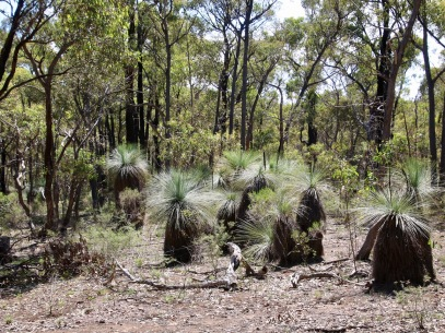 As you walk you will be accompanied by grass trees. Fat ones, skinny ones, tall ones, short ones, straight ones, bent ones, each has its own character.
