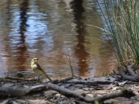 The walk follows waterway gullies. However, these dry quickly in this water shedding country, leaving waterholes or dams for wildlife. Stop and sit to see. Here a Fuscous Honeyeater pokes its tongue.