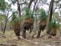 Xanthorrhoea. This special species greet you at the beginning of the walk.