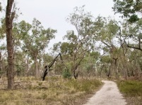 Soon you will notice the transition to woodland dominated by Blakely red gum.