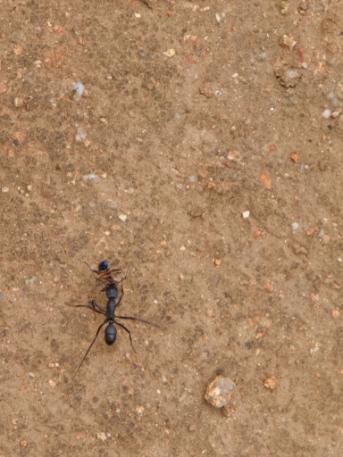 Jumping Jacks are a busy ant. They can jump and cause an annoying sting. Try to avoid provoking them by getting in their way.