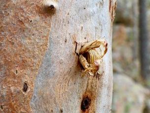 Cicada egress A surprising find in a tree.